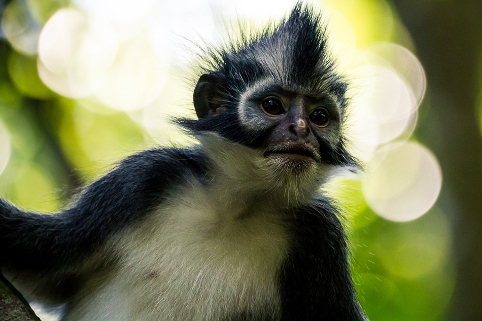 Thomas leaf monkey with shop link for Wild&Free