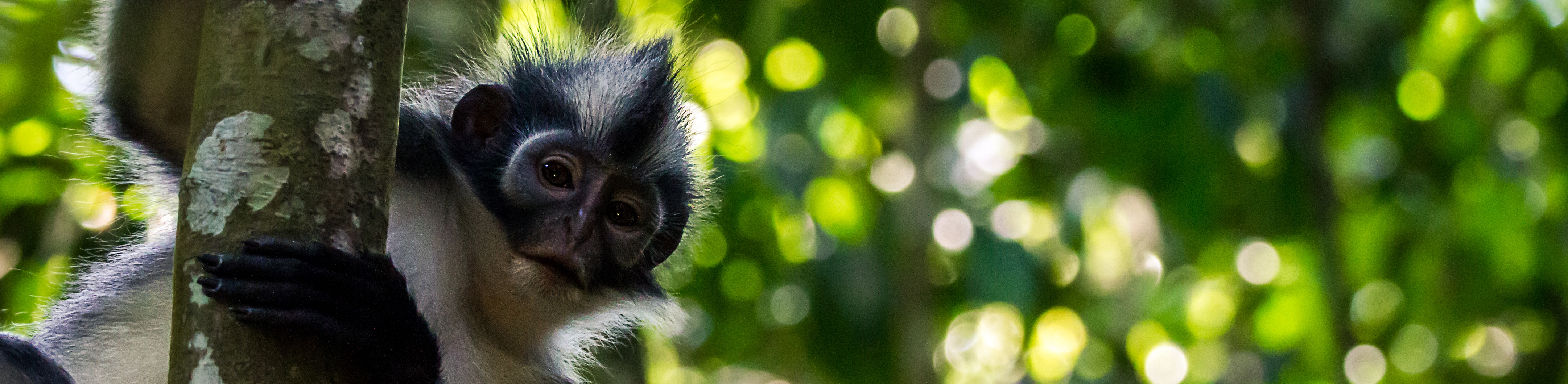 Thomas leaf monkey on a tree in Sumatra, Indonesia
